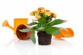 Kalanchoe Calandiva flowers for transplantation, on white backgr — Stock Photo