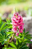 Rare pink Lupin flower (Lupinus) in the summer — Stock Photo