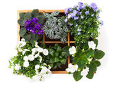Flowers top view (Saintpaulia, Campanula terry, Fittonia, Adromi — Stock Photo