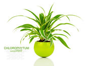 Green Chlorophytum plant in the pot, evergreen perennial floweri — Stock Photo