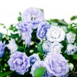 Campanula terry with blue flowers isolated on white background — Stock Photo #69594659
