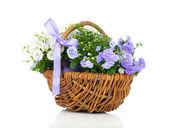 Blue and white Campanula terry flowers in the wicker basket, iso — Stock Photo
