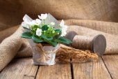 White Saintpaulias flowers in paper packaging, on sackcloth, woo — Fotografia Stock