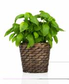 Basil herbs in Pot on White background — Stock Photo