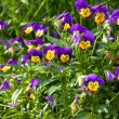 Garden pansy (pansies, Viola, Viola tricolor) is a type of large — Stock Photo #77206109