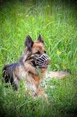 German shepherd muzzled — 图库照片