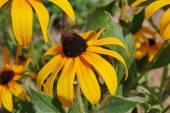 žluté květy v létě — Stock fotografie