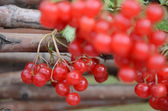Rote guelder-rose. — Stockfoto