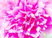 Closeup of peony flower background — Stock Photo