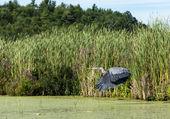 Great Blue Heron Flying — Stock Photo