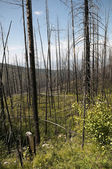 New Growth From Forest Fire — Stock Photo