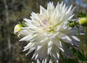 Selective Focus on the White Dahlias Blossom  — Stock Photo