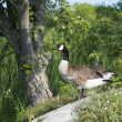 Canada Geese On The Shoreline — Stock Photo #61095663
