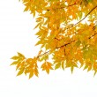 Yellow Ash Tree Leaves — Stock Photo #54434017