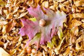 Autumn Leaves and Acorn — Stock Photo