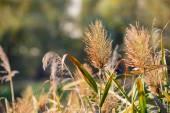 Bulrush Flower — Stock Photo