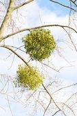 Viscum Album on the Tree — Stock Photo