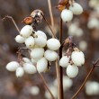 Snowberry Fruit in Winter — Stock Photo #61284413