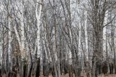 Birches and Trees in Winter — Stock Photo