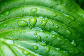 Hosta Leaf with Rain Drops — Stock Photo