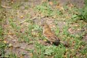 Vesper Sparrow — Foto Stock
