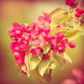 Flores de maçãs do paraíso — Fotografia Stock