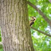 Woodpecker Hidding — Stock Photo