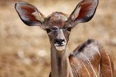 Young impala antelopes — Stock Photo
