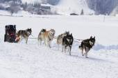 Husky sled dogs running in snow — Stock Photo