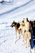 Husky Sled Dogs  — Stock Photo