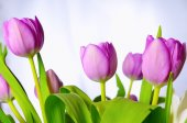 Lilac tulips. — Stock Photo