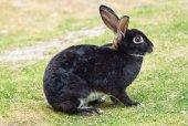 Black rabbit — Stock Photo