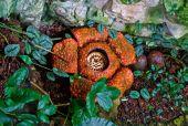 Rafflesia arnoldii — Stock Photo