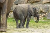 African elephant baby — Stock Photo