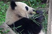 Giant panda eating — Stock Photo