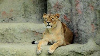 Lioness , panthera leo — Stock Video