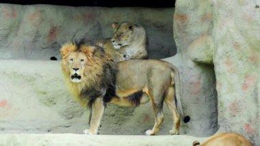 Lion — Stock Video