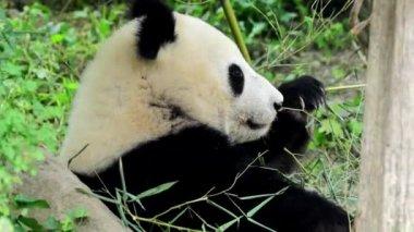 Great panda — Stock Video