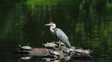 Grey Heron on a log — Stock Video