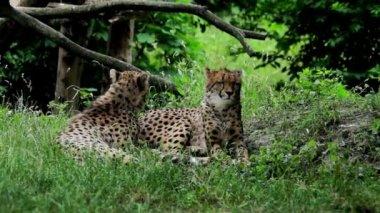 Pair of cheetah — Stock Video
