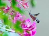 Hummingbird moth — Stock Photo