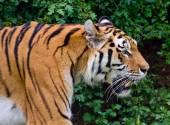 Tiger profile head close up — Stock Photo