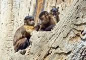 Capuchin monkey family — Stock Photo