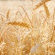Wheat crops growing tall — Stock Photo #77908114
