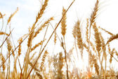 Wheat crops growing tall — Stock fotografie