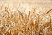 Large field of wheat crops — Stock Photo
