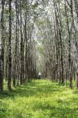 Rows of rubber tree — Stock Photo