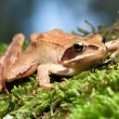 Rana Temporaria - Brown Frog on Green Moss — Stock Photo #66845183