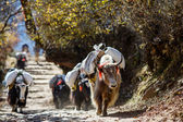 Yaks carring weight in Nepal — Stock Photo