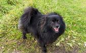 Pomeranian dog german spitz outdoor — Stock Photo
